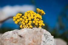 Helichrysum Italicum seed 1gram 10 000 pcs immortele, cury, Elicriso, everlastin