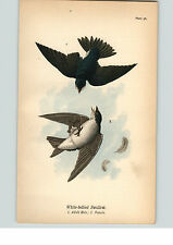 1890 Bird Colored Lithograph Litho Plate White-Bellied Swallow Male and Female