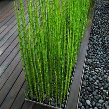 50X Mini Black Moso-Bamboo Trees Seeds Plants Office Indoor Growing Garden Plant
