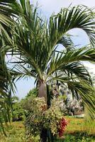 Exot Pflanzen Samen exotische Saatgut Zimmerpflanze WEIHNACHTS-PALME