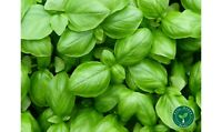 100 seeds of Basil - OCIMUM BASILICUM + GIFT 5 seeds of Sunflower