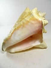 "Giant Conch Shell 8"" X 5"" x 5"" spiny spikes"