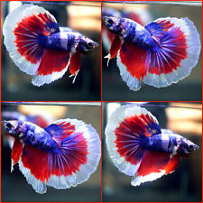 New listing Live Betta Fish Blue Marble Red White Banding Halfmoon Hm Male A888