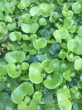 6 Water Hyacinth Pond Plants Great For Filtration