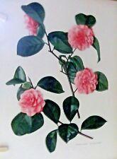 camillias 1 lithograph by RAYMOND BOOTH & PAUL JONES  1955 size 46,5 x 32cm