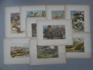 9 Chromolithographien - Brehms Tierleben - Fische Bachforelle Säugetiere - 1900