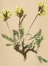 ALPENFLORA ALPINE FLOWERS: Oxytropis campestris (L. ) DC-Feld-Spitzkiel;1897