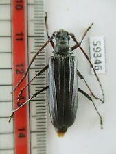 BO13 # Lote De 10 Peças # desmontado Beetle cicindelidae Vietnã Central