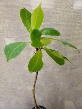 Terminalia Catappa Tropical Almond Tree Plant not Philodendron Pre Bonsai