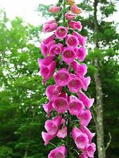 50 Pink Foxglove Seeds Perennial Garden Flower Bright Flowers Seed 568 Us Seller