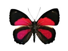 Paulogramma peristera One Real Butterfly Red Peru Unmounted Wings Closed