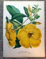 Van Houtte 1870 Antique Print: ALLAMANDA NOBILIS Flower Floral Botanical Decor