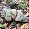 Haworthia Aries Succulent plants potted Plants Home Garden Bonsai Garden Decor