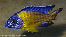 PAIR Neon Blue Dorsal Peacock African Cichlid Live fish 1.5 inch GUARANTEED