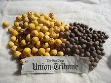 PALM SEEDS  Jubaea Chilensis wine palm   15 seeds