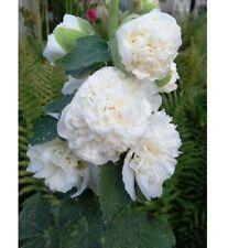 12 graines de ROSE TREMIERE BLANCHE DOUBLE(Alcea Rosea Blanche Double)X61 SEEDS