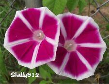 Youjiro Yaguruma Japanese Morning Glory Seeds - ipomoea Nil - Red Star - Rosita