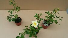 Rose Worstershire 3 individual plants in 10.5cm pots