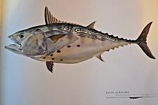 """Great fish Pictures  FALSE ALBICORE FRAMED  14.75""""x12"""""""