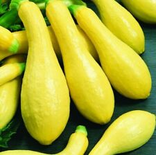 Squash, ORGANIC Straight Neck Yellow, 20 Vegetable Seed, Heirloom NON-GMO, USA