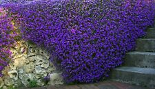 Flower Seeds Purple Aubretia Fioletovaya Perennial