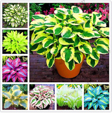 150 PCS Seeds Hosta Plants Lily Flowers Shade Grass Bonsai Ornamental Plants NEW