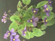 African Violet Plant Amadie Trail Miniature Trailer