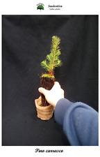Planta de Pino carrasco - Pinus halepensis - 2 Años