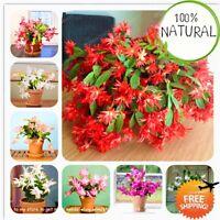 Zygocactus Truncatus Schlumbergera Seeds Plants Bonsai Potted Indoor 100pcs