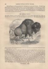 Amerikanischer Bison Bos bison American bison HOLZSTICH von 1866
