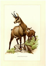 Old Colour Printing: Chamois Original 1958 No Copy Print Picture Painting