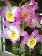 "Nobile Dendrobium Angel Moon 'Love Letter' in 2""Pot ~Blooms Next year~"