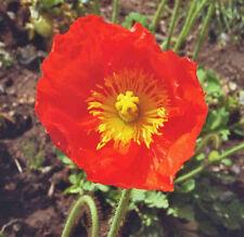 Samen Saatgut exotische einjährige Pflanzen für den Garten RIESEN-MOHN