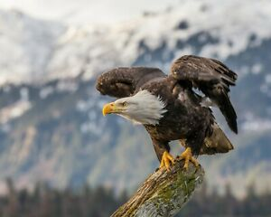 BALD EAGLE GLOSSY POSTER PICTURE PHOTO PRINT american usa bird freedom US