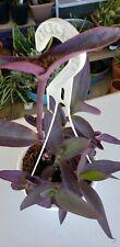 Purple Heart Plant Aka Wandering Jew In Soil grown in Usa