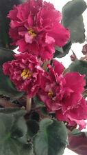African Violet PLUG- LE Fire Flower