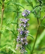 250 Japanese Catnip Herb Purple Flower Jing Jie Schizonepeta Tenuifolia Seeds