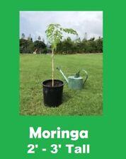"2'-3' Tall Moringa Oleifera ""Miracle Tree"", Powerful Healing Tree"