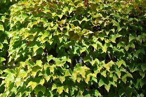 Boston Ivy (Parthenocissus tricuspidata Veitchii), 15 seeds
