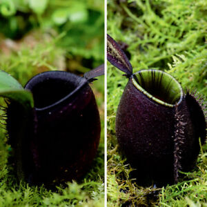 "5 Seeds Nepenthes ventricosa x sibuyanensis /""RARE/"""