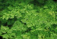 4 (four) Cuttings of Ceratopteris siliquosa - Amazing Aquatic Plant