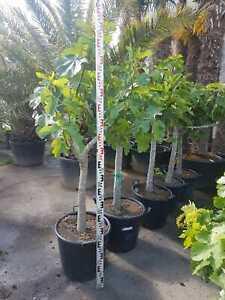 Feigenbaum Ficus Carica, Gesamthöhe mit Topf ca. 160-180 cm, Frosthart -12 Grad