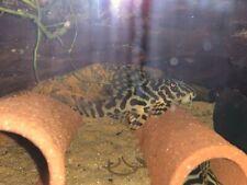 2x L134 (Leopard Frog Plecos)