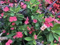 Red Crown Of Thorns - Euphorbia milii Stem Cutting Succulent Cactus