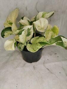 Epipremnum Happy Leaf Manjula Pothos Variegated 12cm pot multi stems
