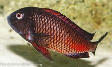 "(1) Moliro Tropheus ""Firecracker""Live Fish Tanganyika 1.25 inch African Cichlid"