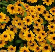 2000 Rudbeckia hirta Seeds Black Eyed Susan Gloriosa Daisy Garden Flower Fresh