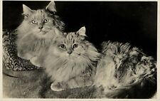 2 long haired CATS old Amag real photo postcard