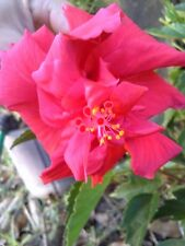 """2 DOUBLE RED HIBISCUS WELL ROOTED LIVE STARTER PLANT 4"""" TO 7"""" TALL"""