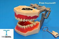 Dental Typodont Model FG3 / AG3 works with Frasaco brand teeth (Free Keychain)